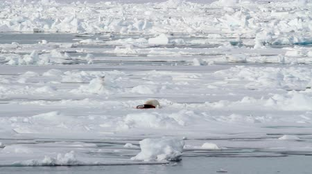 Polar bear feeding from a seal Polar bear eating seal on ice in spitsbergen Norway Stok Video
