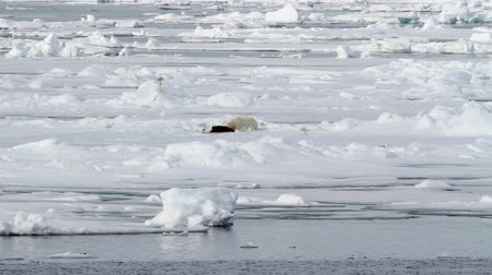 Polar bear feeding Polar bear eating seal on ice in spitsbergen Norway