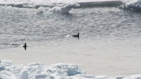 Little auk swims in the freezing ice water