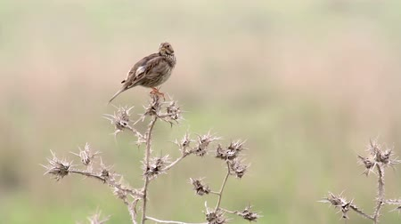 Corn bunting bird on thorn bush