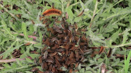 Caterpillar tent Caterpillar tent on leaf