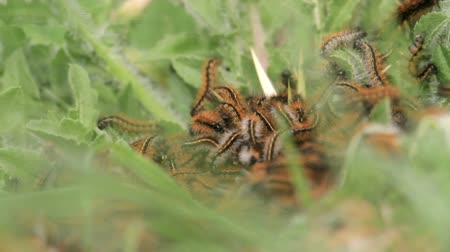 Caterpillar nest op blad Stockvideo