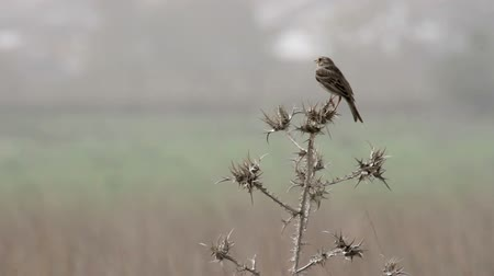 Corn bunting on thorn bush Corn bunting bird on thorn bush