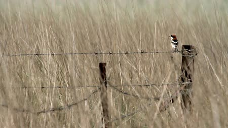 Woodchat on barbed wire
