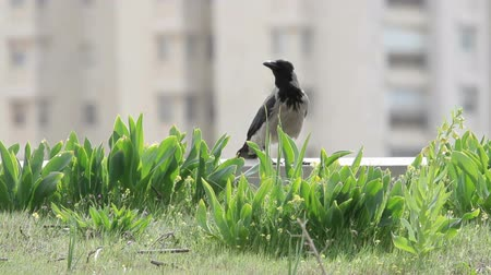 Hooded crow Hooded crow in urban area