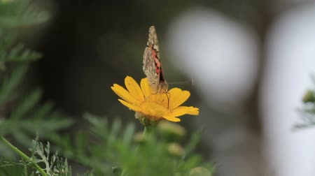 Painted lady butterfly on flower Painted lady butterfly on yellow in flower