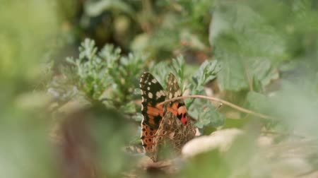 Painted lady butterfly Painted lady butterfly on flower Stock Footage