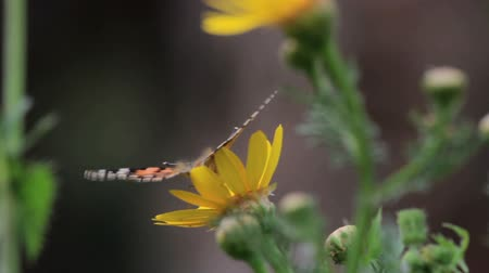 insects isolated : Painted lady butterfly on yellow in flower