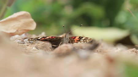 мотылек : Painted lady butterfly Painted lady butterfly on a rock
