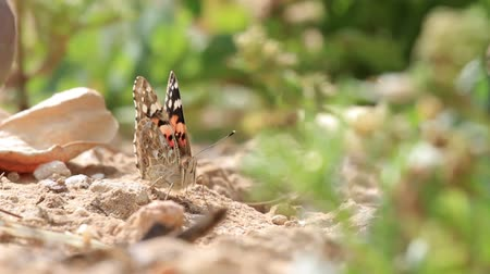 Painted lady butterfly on the ground Painted lady butterfly on a rock Stok Video