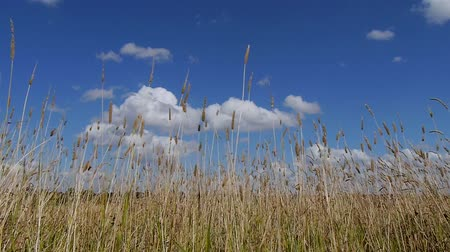 gail : Wild grass moves left to right driven by strong wind Stock Footage
