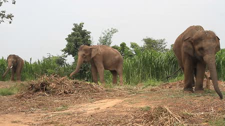 Elefante tailandés  Archivo de Video