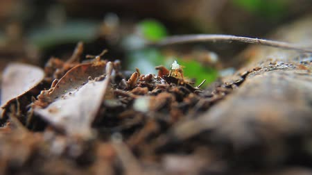 red ant : Ant Trail in the forest Stock Footage