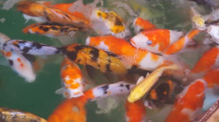 brocaded : Colorful koi carps in pond.