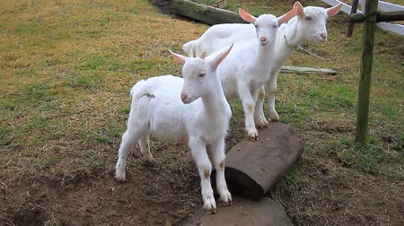 cabra : goats in farm