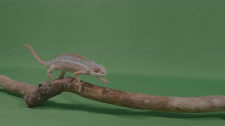 игуана : Fascinating exotic chameleon lizard crawling along a branch on green screen