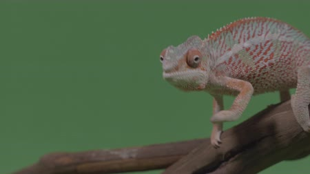 игуана : Cute chameleon standing on bamboo stick cautiously looking around