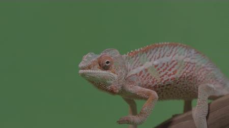 chamaeleo : Closeup of gorgeous orange reptile chameleon sitting on bamboo branch chroma key background Stock Footage