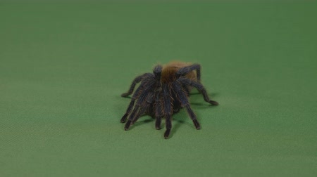 fobi : Fearful tarantula spider adopting a defensive position on green screen Stok Video