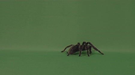 ölümcül : Big hairy spider tarantula walking on green screen and defending by throwing hairs Stok Video