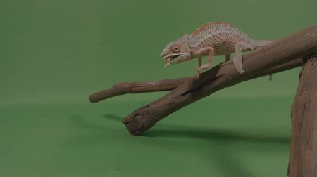 chamaeleo : Chameleon lizard standing on a branch shooting out his extended tongue catching a worm to eat Stock Footage