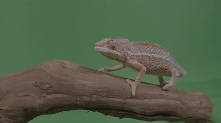chamaeleo : Beautiful colored chameleon sitting on a branch studying the environment green screen in background