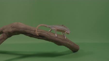 chamaeleo : Small chameleon on a bamboo branch capturing and eating a fly with green screen background