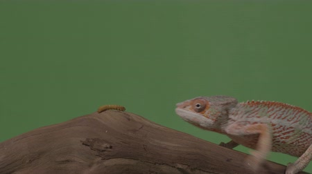 chamaeleo : Exotic chameleon and worm both standing on piece of bamboo wood in front of green screen Stock Footage