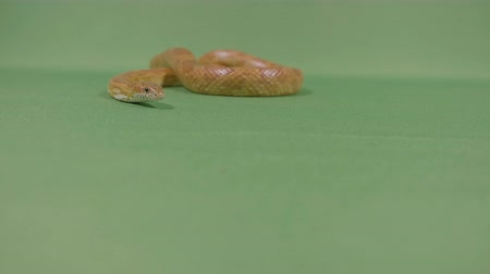 slithering : Snake viper slithering against green screen moving his forked tongue looking dangerous