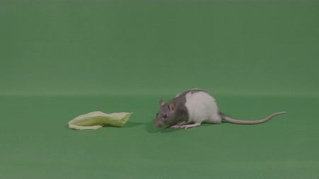 fare : Little rat mice near piece of food on green screen Stok Video