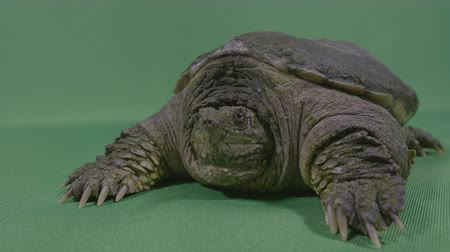 pullu : Closeup of old turtle snapping alligator or common snapping turtle with chroma key background