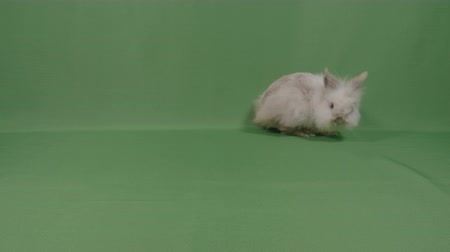 fofinho : Adorable fluffy baby bunny rabbit looking curious sniffing around on green background in studio