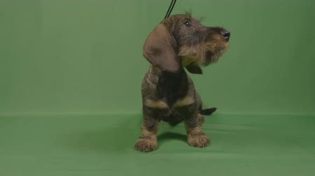 daksund : Closeup of curious sniffing wirehaired dachshund puppy dog in leash looking around with green background