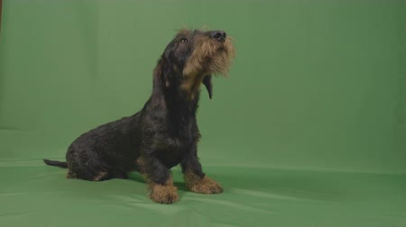 cheirando : Lovely wirehaired dachshund puppy with sad adorable eyes sniffing and sitting in front of green screen Stock Footage