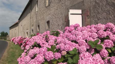 francja : Hydrangeas along old French farmhouse and country road