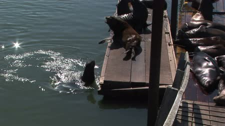 ploutve : Sea Lions swimming and resting on harbor dock