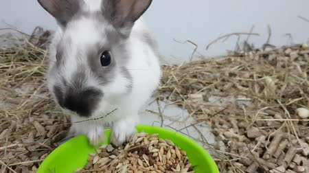 жевать : The gray rabbit is fed by feeding through a large muzzle. The rabbit is in a stainless cage with food. gray rabbit in a cage looking at the camera, a young rabbit