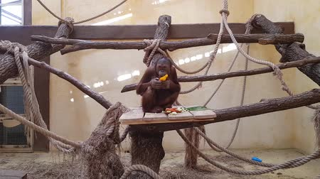 trançado : orangutan eats in a zoo behind a glass. Portrait of a tango orangutan behind a protective glass in a zoo that eats. young not big primate in a cage eats vegetables and bell peppers. Stock Footage