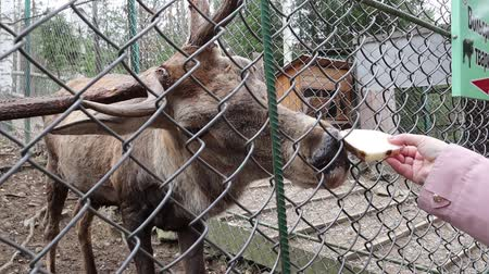 finomságok : Female hand feeds cute deer with hedgehog bread close-up. A lot of small and adult deer behind the net in the contact zoo. Visitors to the reserve treat animals with goodies.