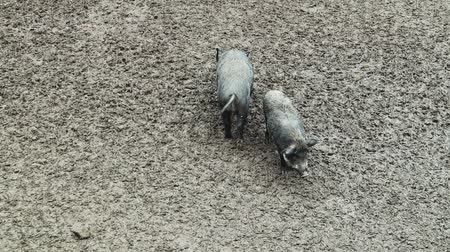 ruminante : Two wild pigs dig in the mud for food and feed in the forest. An omnivorous artodactyl non-ruminant mammal of the medium-sized boar genus, walking along a dirty field.