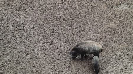 porquinho : Two wild pigs dig in the mud for food and feed in the forest. An omnivorous artodactyl non-ruminant mammal of the medium-sized boar genus, walking along a dirty field.