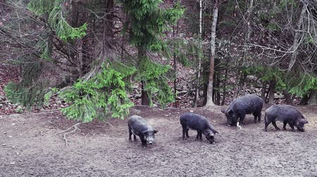 all ages : A group of wild boars with young pigs looking for food in the forest. A large herd of wild pigs of all ages in the forest. Stock Footage