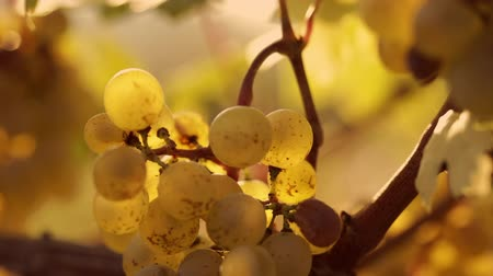 bílé víno : Close-up of a yellow grapes on grapevine