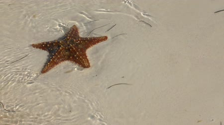 kuba : Star-fish on sandy beach