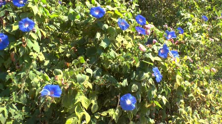 trepadeira : Background with blue flowers of Field Bindweed (Convolvulus arvensis), Crete