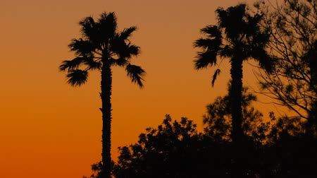 clima tropical : Tropical sunset background with palm trees
