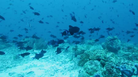 Мальдивы : Background with  many Red-toothed Triggerfishes Odonus niger, Maldives