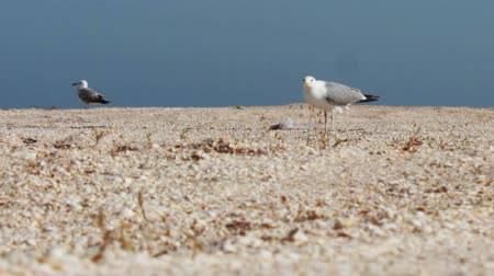 racek : Big white seagull walking along a deserted shell beaches on the background of blue sky and sea surf waves and looking for food. Dostupné videozáznamy