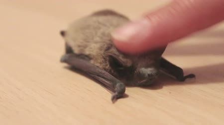 philosopher : Little gray bat lays and trembling on the floor, she stroking her on the back with your finger. Stock Footage