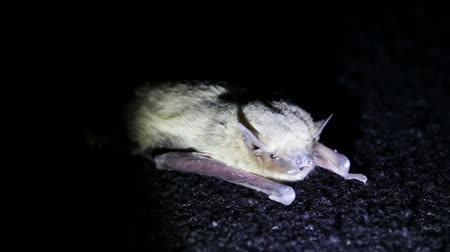 nietoperz : Little gray haired bat lying on the floor at night, shaking and blinking eyes.